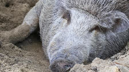 mangalitza : Red Mangalitsa or wooly pig asleep in sand - close up. A pig in the mud is a happy pig. Free-range, outdoors, they have a decent life. Island Koh Phangan, Thailand