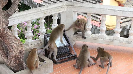 long tailed macaque : Aggressive angry monkey in buddhist temple. Hua Hin, Thailand Stock Footage