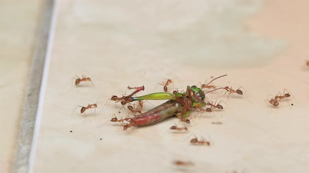 pulling up : Group of ants carrying a dead grasshopper for eating. Island Bali, Indonesia. Close up Stock Footage