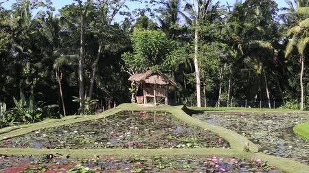 lilyum : Pond with lotus flowers in the recreation area near Ubud, island Bali, Indonesia Stok Video