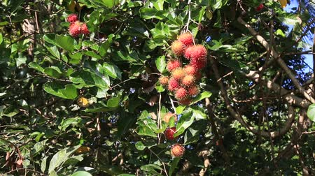 fruity garden : Rambutan on the tree. Rambutan is a tropical fruit, sweet taste in island Bali, Indonesia. Close up