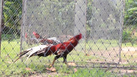 cock fights : Roosters are in an iron cage and await cockfighting, Koh Phangan, Thailand Stock Footage
