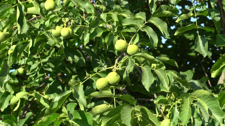 orzech : Walnut in the peel on branch. Green walnuts on the tree branch in garden. Walnuts on the branch. Nuts on the tree. Unripe walnuts