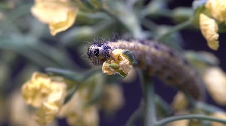 voracious : Cabbage butterfly on green background, close up, macro. Caterpillar eats plants Stock Footage
