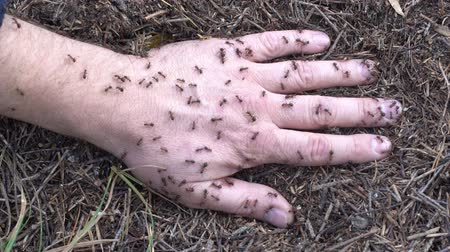 ant : Man hand in anthill. Summer forest Ants on the hand closeup, macro Stock Footage