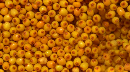 sea buckthorn : Many orange yellow common sea buckthorn berries is washed in water, close up Stock Footage