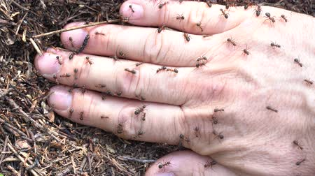 tvrdé dřevo : Man hand in an anthill. Big anthill with colony of ants and people hand in summer forest. Ants on the hand closeup, macro
