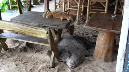 piglet : Big pig with ginger cat sleeping on sand, Thailand.