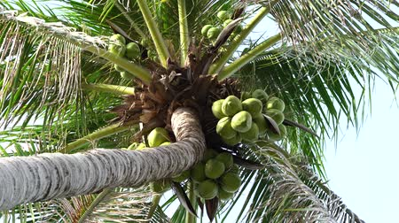 Coconut palm tree, blue sky, green coconuts