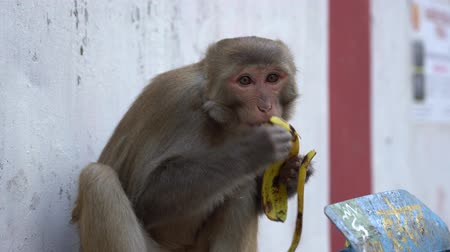wild hungry monkey finds a banana skin, India