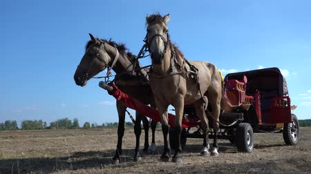 kobyla : Vintage chariot with two horses on field during Ethno-eco festival Koledar in city Slavuta, Ukraine