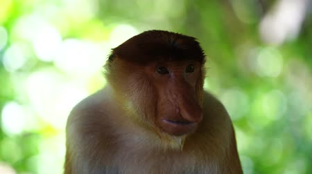 endangered species : Wild Proboscis monkey or Nasalis larvatus, in the rainforest of island Borneo, Malaysia, close up