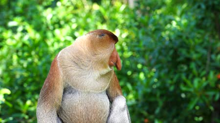 malásia : Wild Proboscis monkey or Nasalis larvatus, in the rainforest of island Borneo, Malaysia, close up