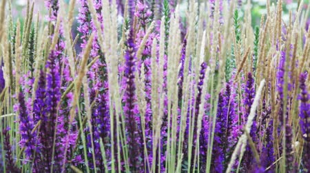 вереск : lavender and Heather flowers, background of garden and field flowers. Dolly video