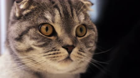 ronronar : closer look of the Scottish fold cat