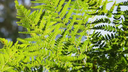 ferns : Natural fern leaf clover, fern leaf pattern. Green foliage with green fern leaf. Dolly video