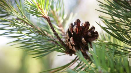 сосновая шишка : pine cone in the forest swinging in the wind