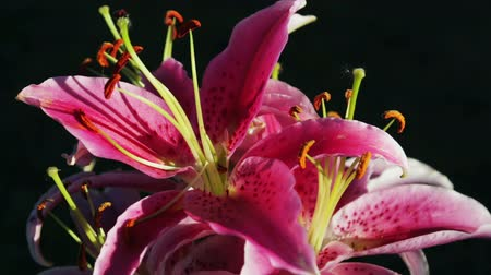 lilyum : pink Lily flowers beautiful on black background