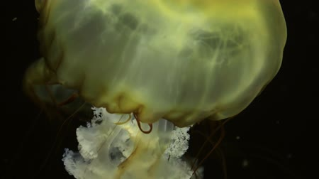 picar : tropical jellyfish in the sea or ocean against the black color of the sea depth