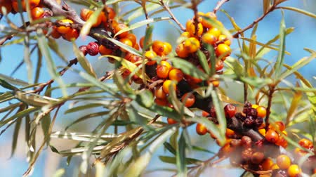 buckthorn : buckthorn with ripe berries. Sea buckthorn plants are incredibly important for the production of oil, medicines, cosmetics, etc.