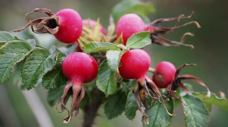 rosehip fruit and leaves in autumn forest in the wind