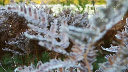 frozen autumn fern leaves in ice crystals. Autumn nature. movement of the camera focus