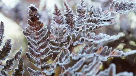 frozen autumn fern leaves in ice crystals. Autumn nature. camera zoom