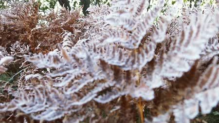 snowy background : frozen autumn fern leaves in ice crystals. Autumn nature. camera zoom