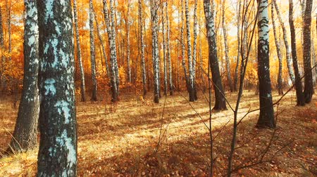 falling leaves from a birch tree in the autumn forest. in autumn the leaves fall. camera movement Stock Footage