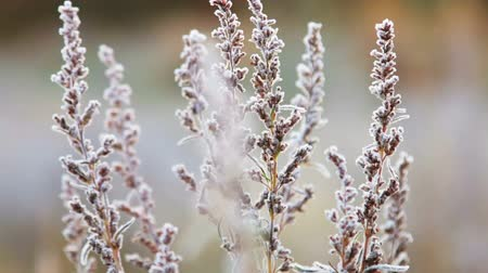 wormwood bushes is frozen in ice crystals on the background of the setting sun. Wind and Blizzard moves the grass Stock Footage