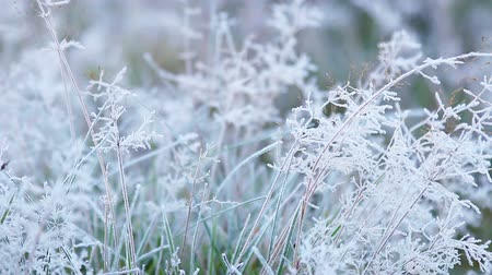 grass is frozen in ice crystals on the backdrop of the setting sun. movement of the camera focus
