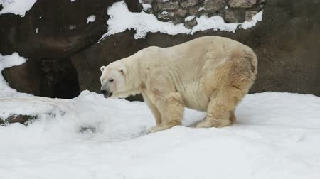 полярный : polar bear in the snow digs a hole with its paws