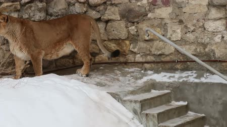 lion : lioness walks in the snow and carefully looks around Stock Footage