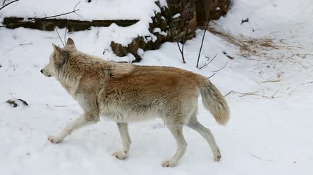 feroz : polar wolf in the snow and carefully looks around Vídeos