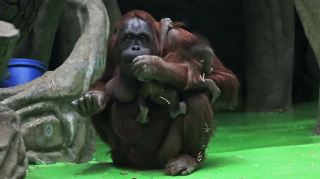 oturur : monkey baby of the orangutan sits on the mother Stok Video