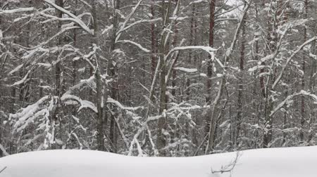 jodła : heavy snowfall is on the background of the winter forest