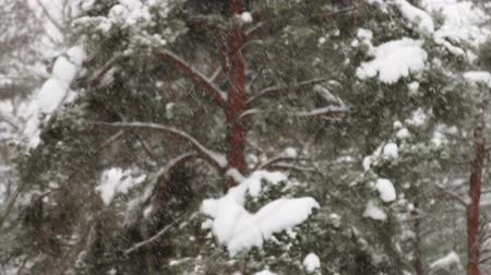 janeiro : heavy snowfall is on the background of the winter forest