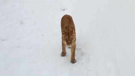 caminhada : lioness walks in the snow and carefully looks around Vídeos
