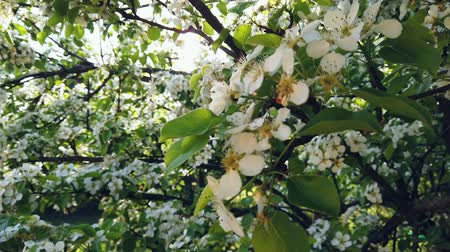 pereira : flowering pear tree in spring with beautiful flowers Stock Footage