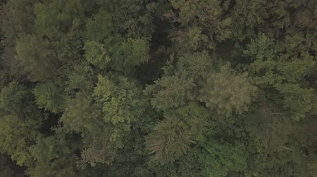 rítmico : Aerial view flying over green tree tops of dense forest. Shooting in the summer