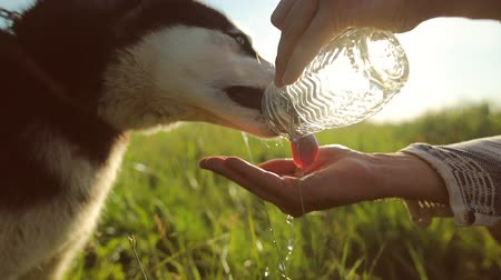 pies : Dog drinking water from the hands of the owner. Water is poured in a thin stream into the palm. Slow motion Wideo