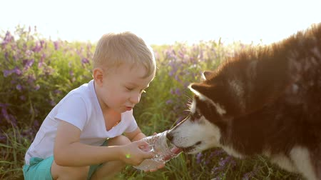 хот дог : A little boy with Siberian Husky playing on a wheat field. Dog drinking water from the hands of the owner. Water is poured in a thin stream into the palm. Slow motion Стоковые видеозаписи