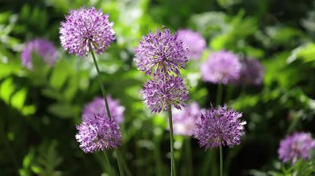 gömbölyű : Beautiful green summer sunny day. Decorative Allium with purple spherical umbrellas. Selective focus.