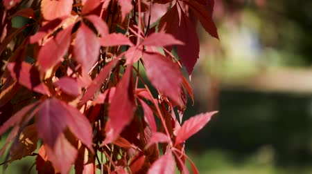 red maple : Autumn colors. Red leaves of ornamental grapes in the garden. Selective focus. Blur effect. Stock Footage