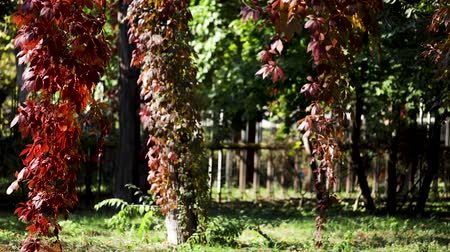 Autumn colors. Red leaves of ornamental grapes in the garden. Selective focus. Blur effect. Stok Video