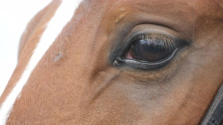 atenção : Close up view of the eye of a beautiful brown horse. Equine eye blinking