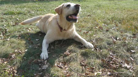 сердитый : Dog breed labrador retriever lies on green grass and barking. Training of domestic animal. Close up