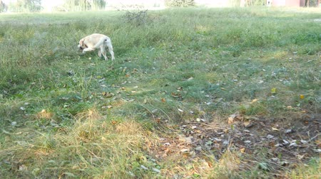 лабрадор : Following a dog walking in the field. Labrador or golden retriever jogging outdoor at nature and wagging tail. Rear back view Стоковые видеозаписи