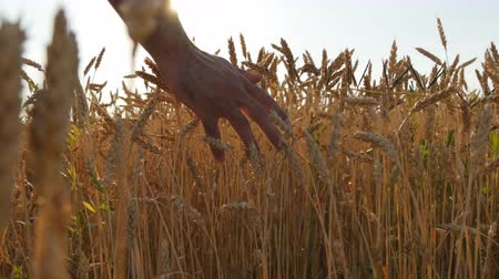 érintés : Male hand moving over wheat growing on the field. Young man running through wheat field, rear view. Man walking through wheat field, touching wheat spikes at sunset