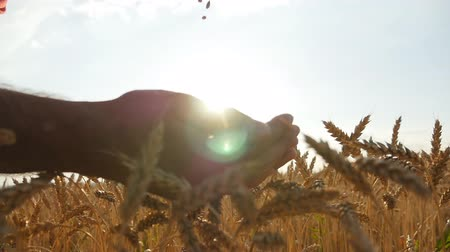 pszenica : Man hands pouring ripe wheat golden grains at sunset. Wheat grain in a male hand over new harvest at field. Food Production, cereal culture, countryside scenery. Slowmotion, slowmo